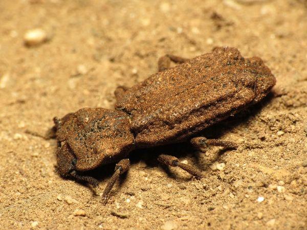 diabolical ironclad beetles - photo #9